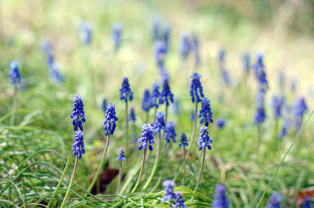 A muscari armeniacum flower or commonly known as grape hyacinth in a spring forest photo