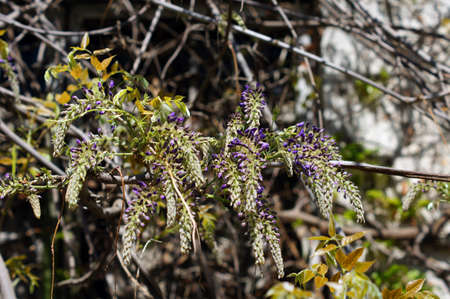 Spring time: wisteria blooming in the garden photo