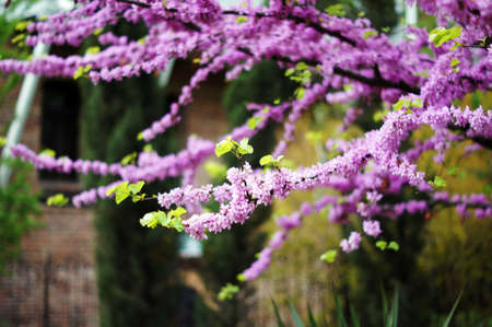 Close up of violet blossoming Cercis siliquastrum plant at Caucasus area