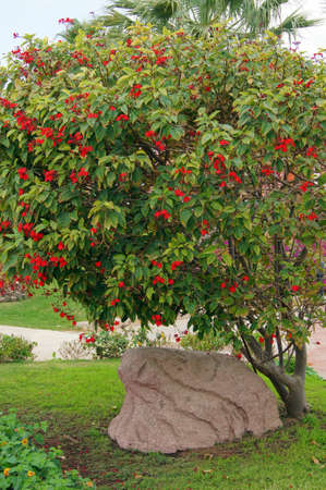 Blooming tropical tree with bright red flowers photo
