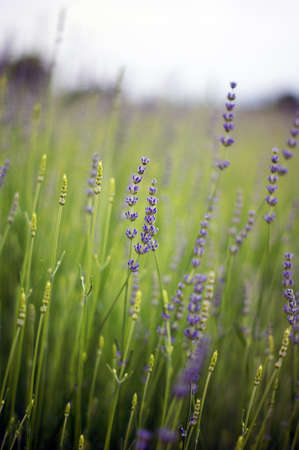 lavander: Summer garden view: lavander flowers Stock Photo