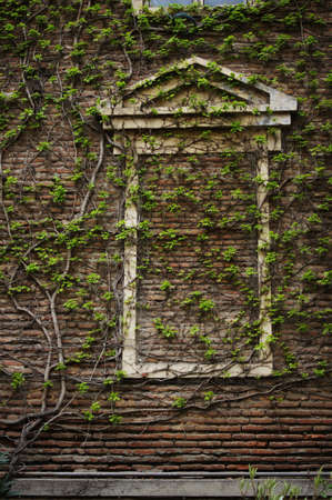 Old wall with ivy plant photo