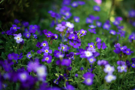 Closeup of spring purple garden flowers photo
