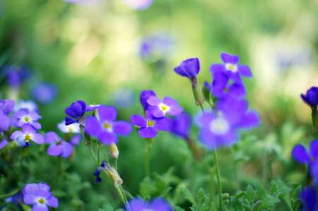 Closeup of spring purple garden flowers photo