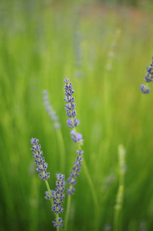 Summer garden view: lavander flowers Stock Photo - 15861730