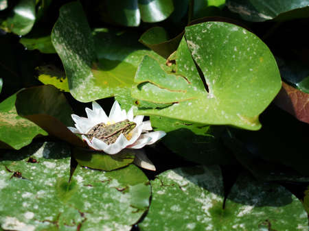Green frog on the lotus leave in the lake photo
