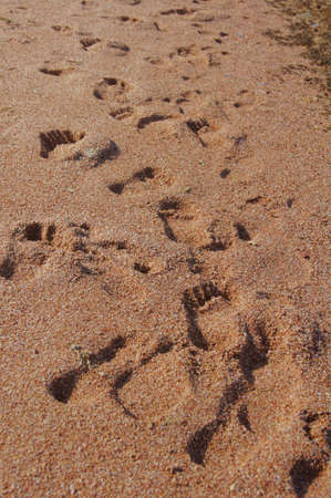 Sand background with human and dog footprints photo