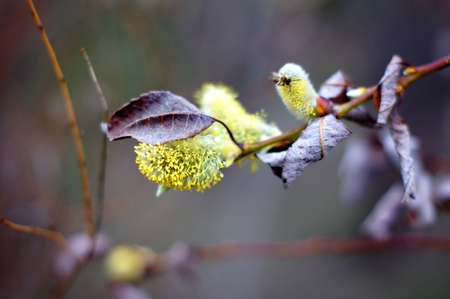 Spring time: pussy willow flowers on the branch
