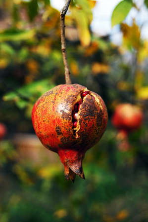 nonfat: closeup of fresh pomegranate fruits on a bush branch
