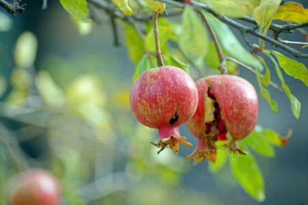 closeup of fresh pomegranate fruits on a bush branch photo