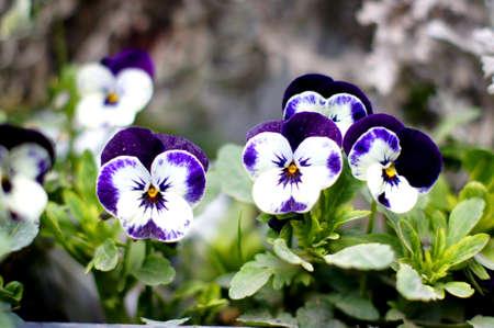 violas: Spring time: first tricolor violas in the garden Stock Photo