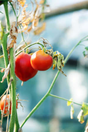 Closeup of Tomatoes ripening in a greenhouse photo