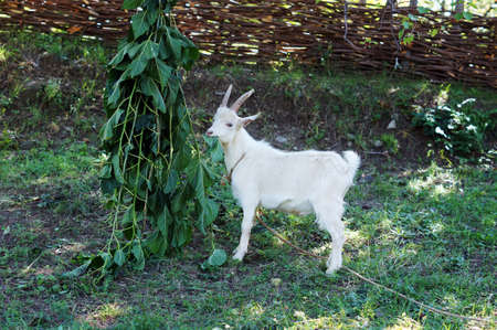 he goat: White he-goat is eating green leaves Stock Photo