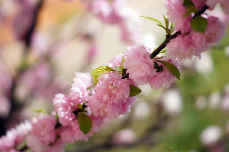 Closeup of blooming almond tree photo