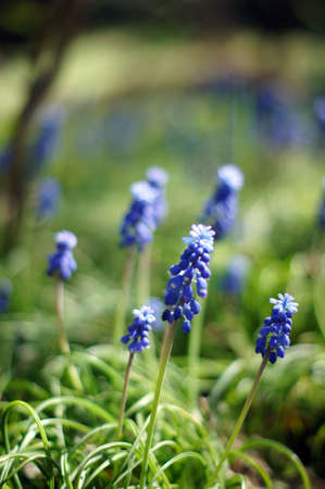 A muscari armeniacum flower or commonly known as grape hyacinth in a spring forest