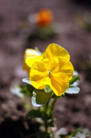 violas: Spring garden: tricolor violas flowers