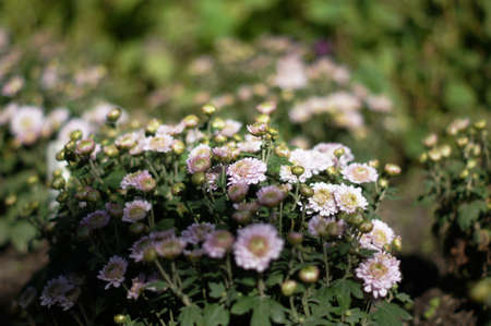 Autumn flowers: closeup of aster plant blooming photo