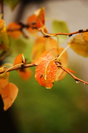Autumn time: yellow leaves on the tree after the rain photo
