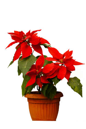 beautiful poinsettia with red flowers in flowerpot on the white background photo