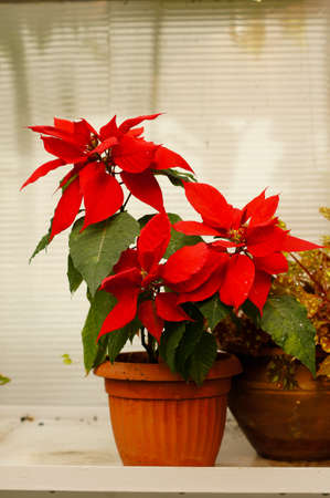 beautiful poinsettia with red flowers in flowerpot photo