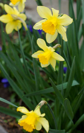 Spring time: yellow narcissus  flowers photo
