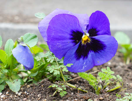 Spring time: first tricolor viola flower photo