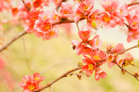 sprung: close up of peach blooming branch