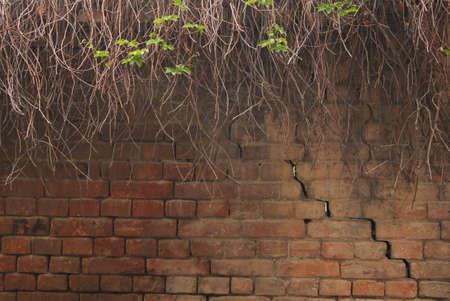 Closeup of grape vine on the old brick wall photo