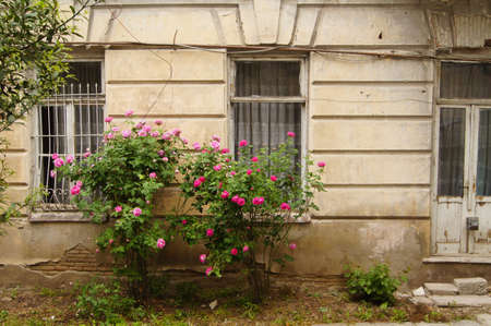 Old window and rose bush with flowers photo