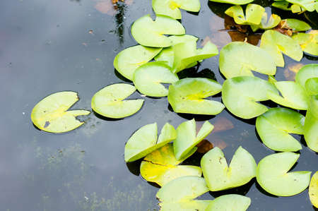 lily pad: water lily flower in the forest pond Stock Photo
