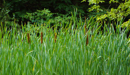 Acorus calamus plant in the forest - summer time