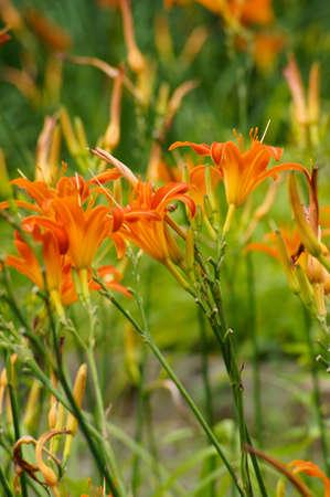 Tiger lily flower in a summer garden photo