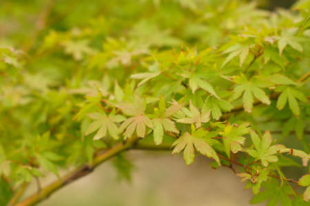 bloodgood: closeup of maple tree leaves