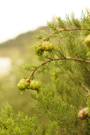 Young branch in spring from European Larch (Larix decidua) photo