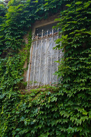 Old window covered with ivy plant photo