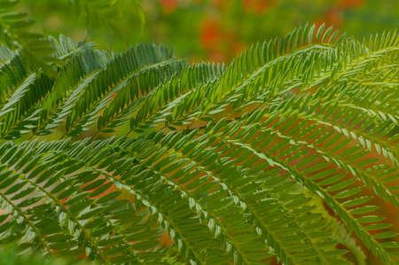acacia tree: Bright green tropical acacia tree leaves as a background Stock Photo