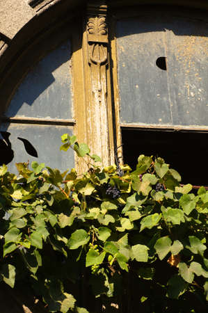 Old window covered with grape photo