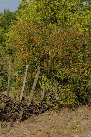 autumnn: Red guelder-rose fruits in an autumnn garden