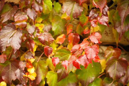 Closeup of red leaves of wild grape in the garden photo