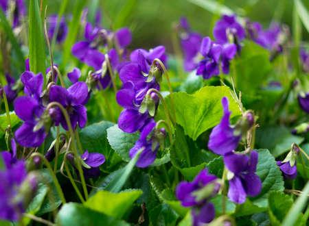 Viola odorata - Sweet Violet, Engels Violet, gemeenschappelijk Violet of tuin Violet Stockfoto - 26778985