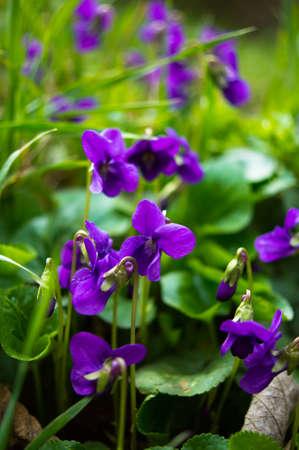 Viola odorata - Sweet Violet, Engels Violet, gemeenschappelijk Violet of tuin Violet Stockfoto - 26813185