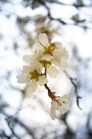 Spring time: blooming cherry tree photo