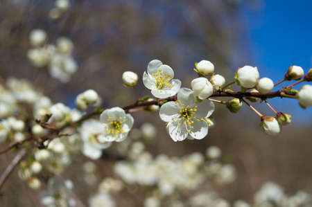 Spring time, blooming of cherry tree in the garden photo