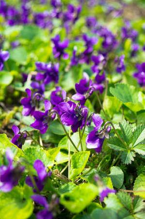 Viola odorata - Sweet Violet, Engels Violet, gemeenschappelijk Violet of tuin Violet Stockfoto - 26936823