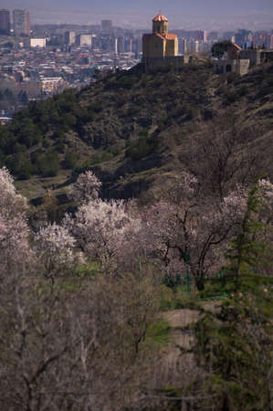 crist: View to Tbilisi city in spring time with blooming cherry trees, church on the top of hill and modern city