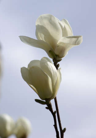 Spring time, bud of magnolia flower on the tree branch photo