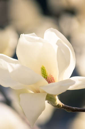 Spring time, blooming of magnolia tree in a garden photo