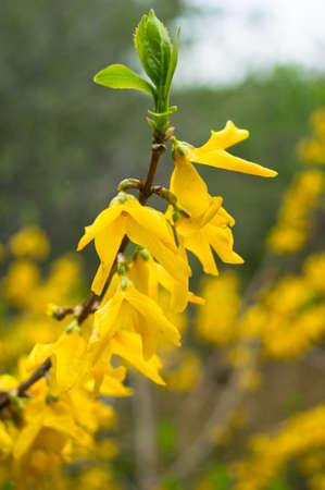 First yellow bell flowers of forsythia in the garden stock photo first yellow bell flowers of forsythia in the garden stock photo 27497448 mightylinksfo