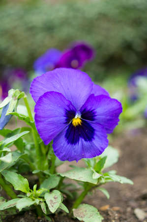 Flowerbed of blue tricolor violas in the spring park photo