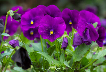 violas: Flowerbed of blue tricolor violas in the spring park